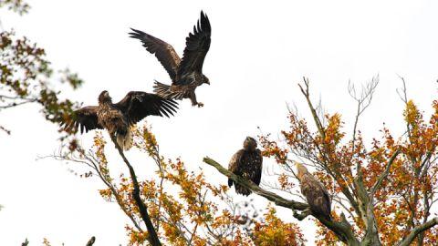 Gruppe Adler im Müritz-Nationalpark